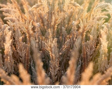 Beaty In Nature, Dry Seeds Of High Grass In Late Afternoon, Seeds Of High Grass Lit By Sunlight, Bea