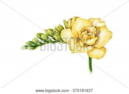 Watercolor Illustration Of Yellow Freesia. Hand Painted Botanical Flower With Green Buds In The Full