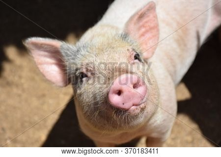 Very Sweet Pig With Pink Ears And A Pink Snout.