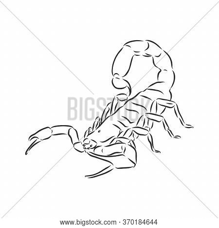 Hand Drawn Sketch Of Scorpion. Retro Realistic Animal Isolated. Vintage Tattoo. Doodle Line Graphic