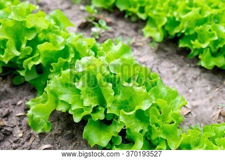 Green Lettuce Leaves On Garden Beds In The Vegetable Field. Gardening Green Salad Plants In The Open