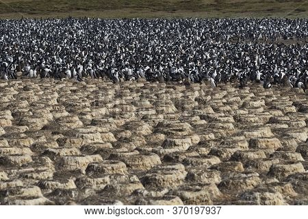 Large Colony Of Imperial Shag (phalacrocorax Atriceps Albiventer) On Bleaker Island On The Falkland