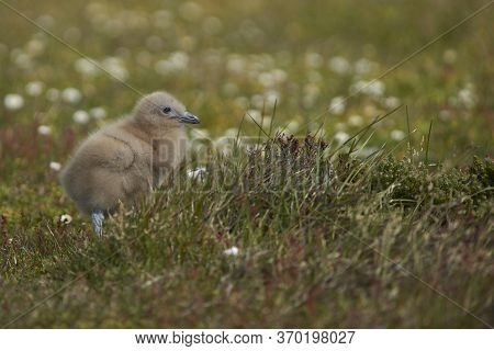 Falkland Skua Chick (catharacta Antarctica) In A Meadow On Bleaker Island In The Falkland Islands.