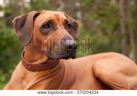 Beautiful Dog Rhodesian Ridgeback Hound Puppy Outdoors