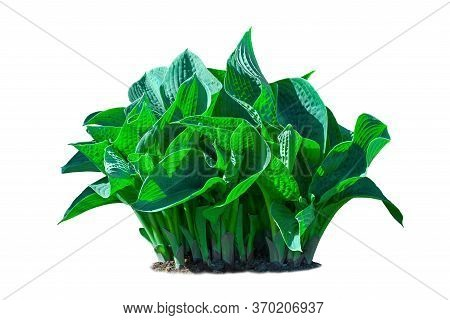 Large Plant Of Blue-leaved Hosta Isolated On A White Background.