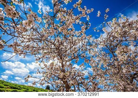 Early spring. The olive tree blossomed. Lush elegant flowering of an olive tree. White-pink olive tree flowers. Light spring clouds over blooming land. Ecological and photo tourism concept
