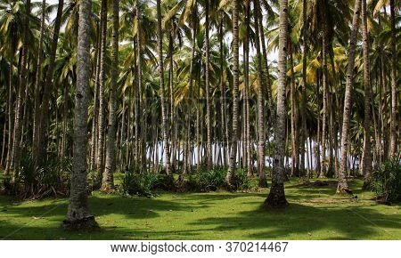 Coconut Palm Tree Forest Next To The Beach In West Sumatra, Indonesia