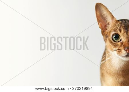 Young Brown Abessin Cat Half Of Muzzle Close Up Portrait On A White Background Free Place