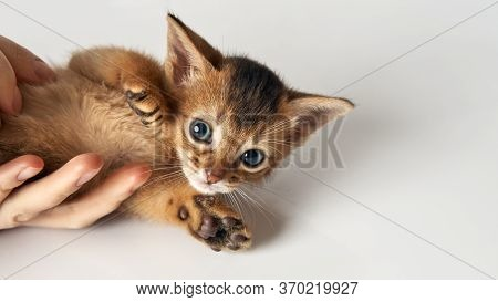 A Little Kitten Lies On A Human Hand, Raising Its Paws Purebred Abyssinian Brown-red Kitten With Gre