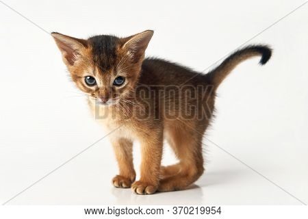 Little Funny Brown Kitten. Purebred Abessin Kitten Is Looking At The Camera