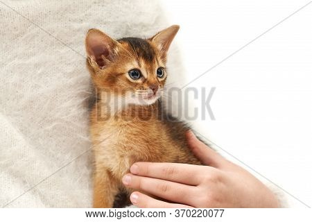 Pet Care. Thoroughbred Abyssinian Kitten.