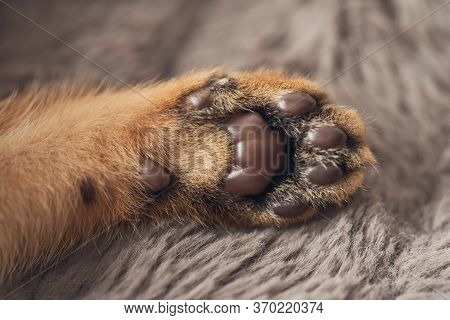 Brown Purebred Abessin Cats Paw