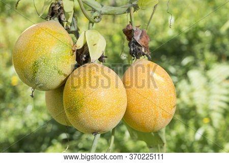 Granada, Fruit Of Andean Origin - Passiflora Ligularis