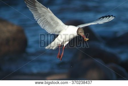 Seagull On The Sea. The Seagull Is Eating. Duck With Ducklings.