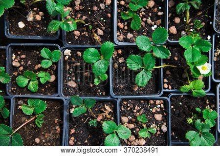 Saplings Strawberry In Pots In Plant Nursery