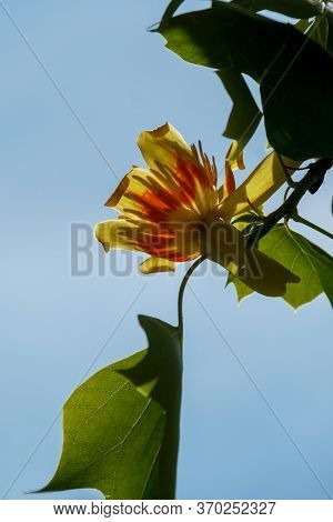Liriodendron Tulipifera Beautiful Ornamental Tree In Bloom, Branches With Tulip Flowers And Green Le