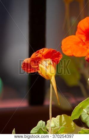 Bee On Orange Flowers Of Tropaeolum Majus Plant  (garden Nasturtium, Indian Cress, Or Monks Cress) I