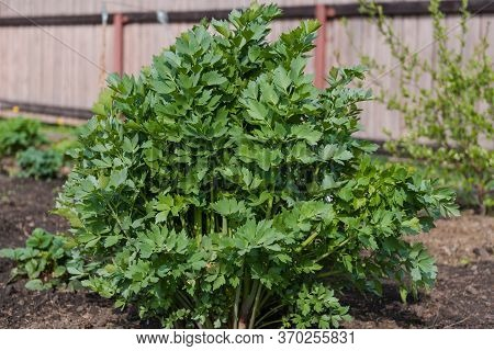Spice Lovage. Spice Grows In The Garden. Bush Lovage. Tall Bush Plants. Natural Spicy Spice. Aromati