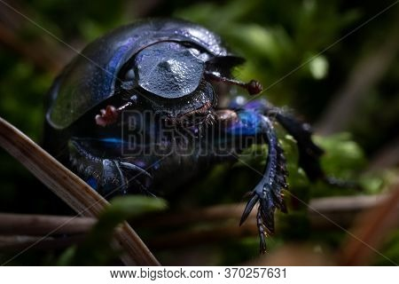 Dor Beetle From Face Side. Macro Close-up
