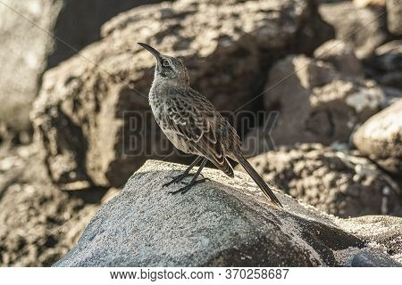 Espanola Mockingbird Standing In A Rock On A Sunny Day