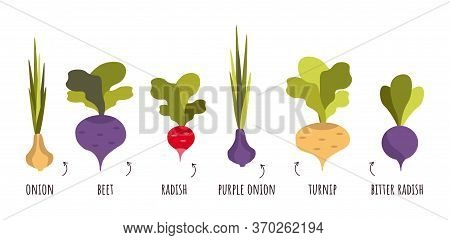 Different Root Vegetables Growing On Vegetable Patch. Beets, Radishes, Turnips, Radishes, Onions Wit