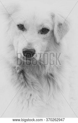 Head Portrait Of Entlebucher Sennenhund Against White Background,head Portrait Of Entlebucher Sennen