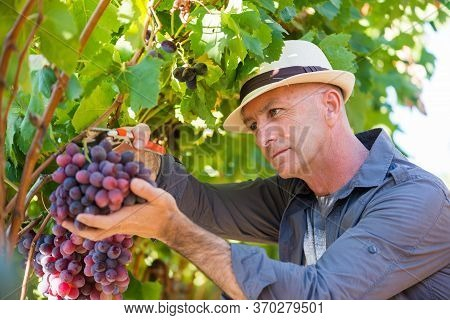 Harvester Working In Vineyard. Winegrower Man Picking Ripe Red Grapes With Garden Pruner. Traditiona