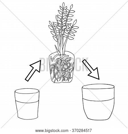 Transplanting Flower From Small Pot To Bigger Pot. Vector Instruction. Zamioculcas Plant With Roots