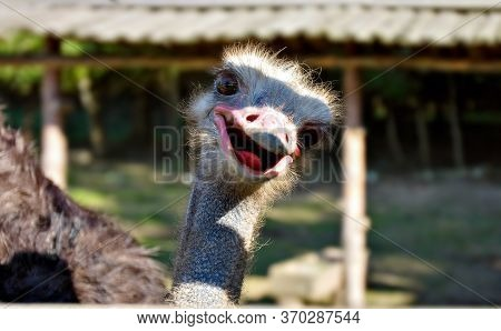 Ostrich In Aviary On A Farm. Сurious Look. Beak Open. Close Up. Portrait Of An Ostrich.