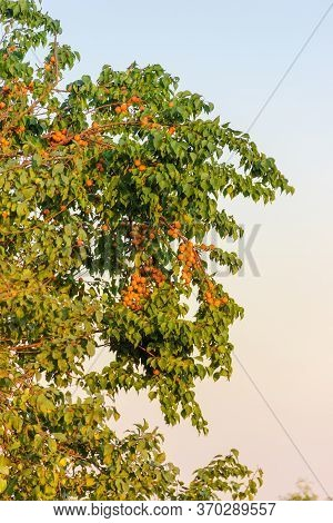 Fragment Of The Old Apricot Tree With Ripe Apricots In Orchard On A Background Of The Clear Sky In T