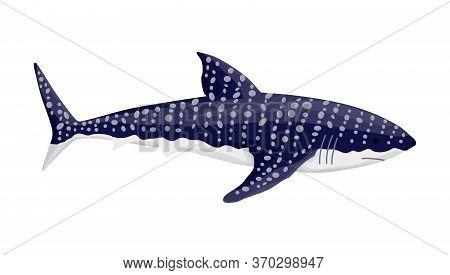 Whale Shark. Big Dangerous Marine Predator. Underwater Sea Animal. Vector Illustration Of Marine Wil