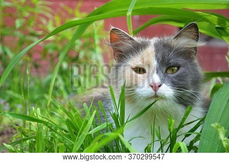 Cat Sitting In The Green Grass In Summer. Beautiful Multi-colored Cat  Outdoor, Ready To Hunt