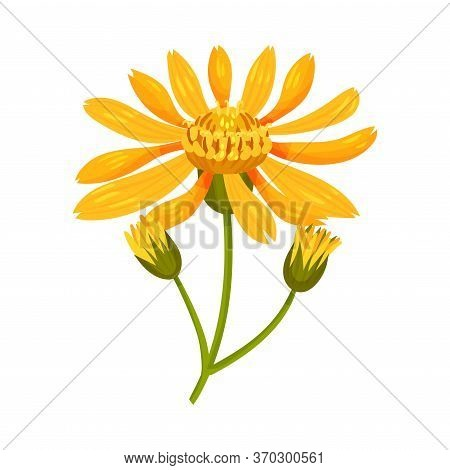 Arnica Yellow Or Orange Flower Head With Long Ray Florets On Green Stem Vector Illustration