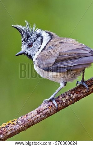 Crested Tit, Parus Cristatus, Spanish Forest, Castile And Leon, Spain, Europe
