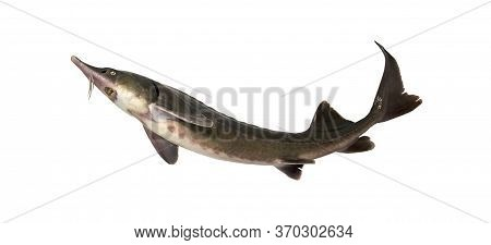 Sturgeon Isolated On A White Background. Fresh Live Fish