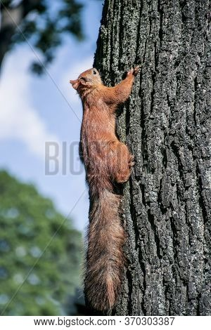 Red Squirrel On Tree. Squirrel On Tree. Beautiful Red Squirrel In The Park. Rodent.