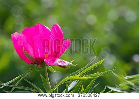 Lonely Scarlet  Fresh Pion Flower On Blurred Greenery Floral Background With Copy Space