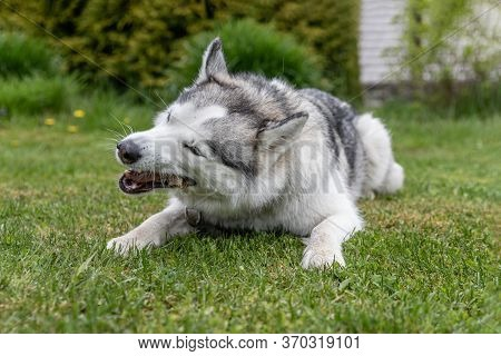Husky Dog Nibbles A Treat Trachea Lying On The Green Grass. Snacks For Pets