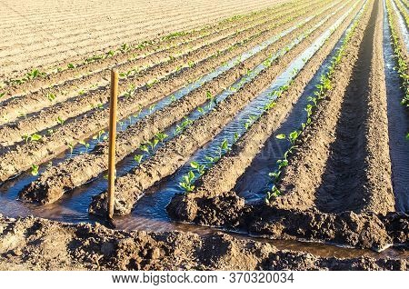 Watering The Plantation Of Young Eggplant Seedlings Through Irrigation Canals. European Farm, Farmin
