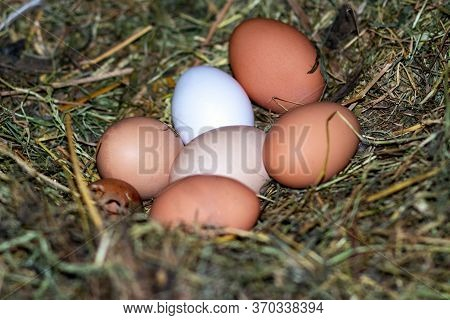 Chicken Eggs In The Nest. Chicken Nest. The Eggs Are In The Nest