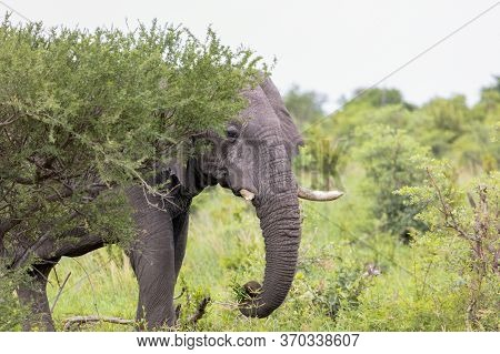 An Adult Elephant Appears From Behind Bushes As It Moves Through Lush Undergrowth.