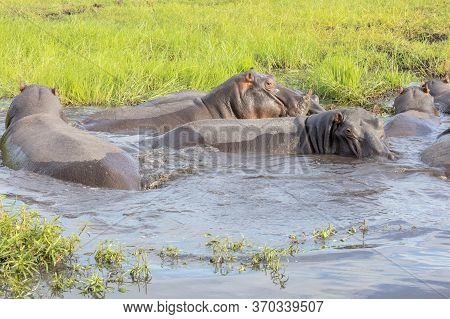 A Group Of Hippos Wallow In A Pool At The Edge Of The Chobe River In Botswana.