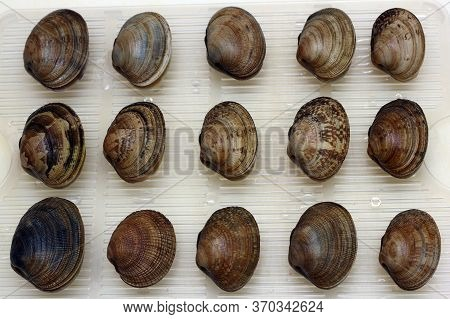 Fresh Raw Vongole Clams Are Laid Out In A Row. Seafood.