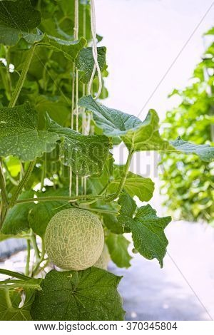 Fresh Melons Or Green Melons Or Cantaloupe Melons Plants Growing In Greenhouse Supported By String M