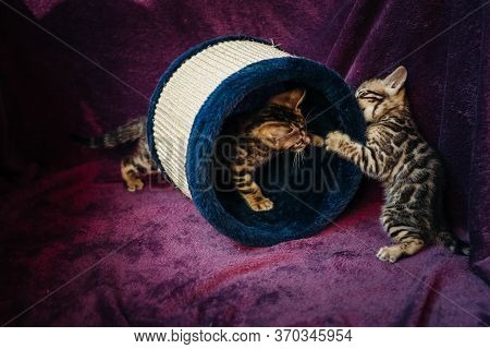 Two Cute Active Golden Bengal Kittens Play And Fight On A Purple Background. Pedigreed Cats .toy For