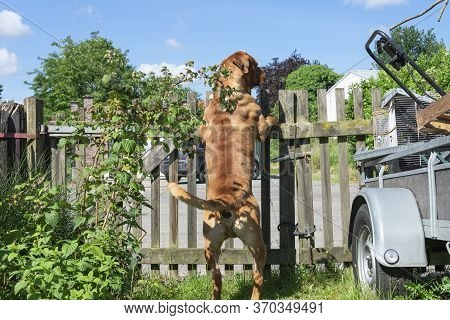 French Mastiff Dogue De Bordeaux Standing On Its Hind Legs Against A Wooden Fence To Guard The Terra