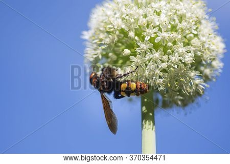 Megascolia Maculata. The Mammoth Wasp. Megascolia Maculata Is A Species Of Large Wasps From The Fami