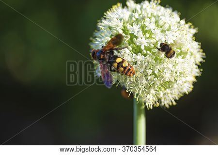Scolia Lat. Megascolia Maculata Is A Species Of Large Wasps From The Family Of Scaly .