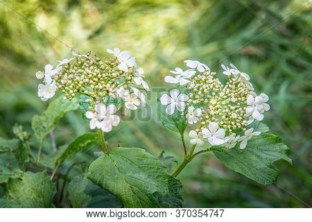Snowball Tree Branch With Blossoms In Summer. Close Up.