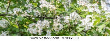 Crataegus Monogyna, Known As Common Hawthorn, Oneseed Hawthorn, Or Single-seeded Hawthorn, Is A Spec